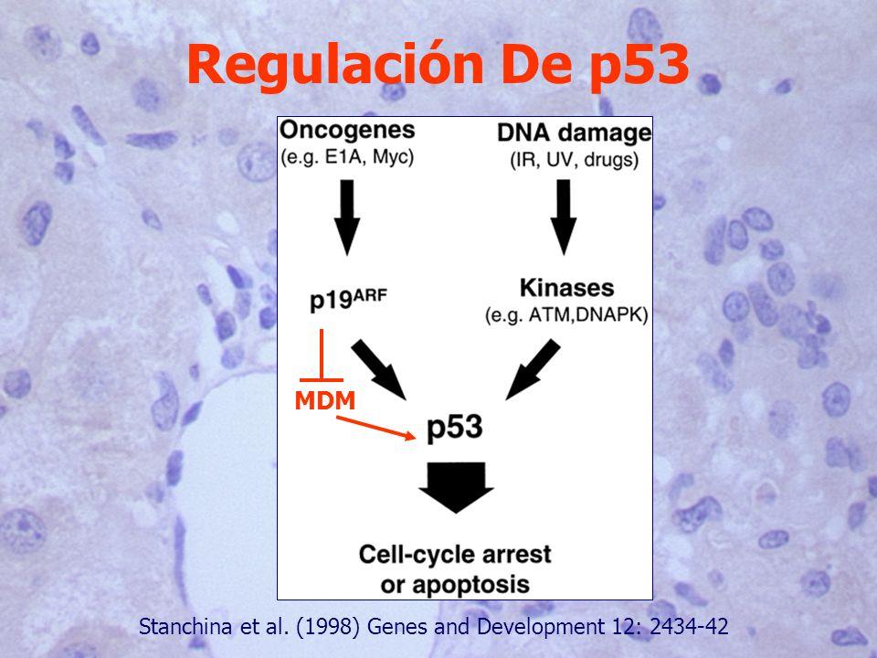 Regulación De p53 Stanchina et al. (1998) Genes and Development 12: 2434-42 MDM