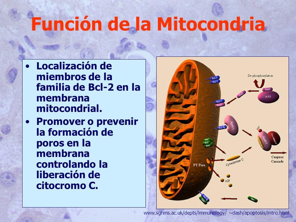 Función de la Mitocondria Localización de miembros de la familia de Bcl-2 en la membrana mitocondrial.