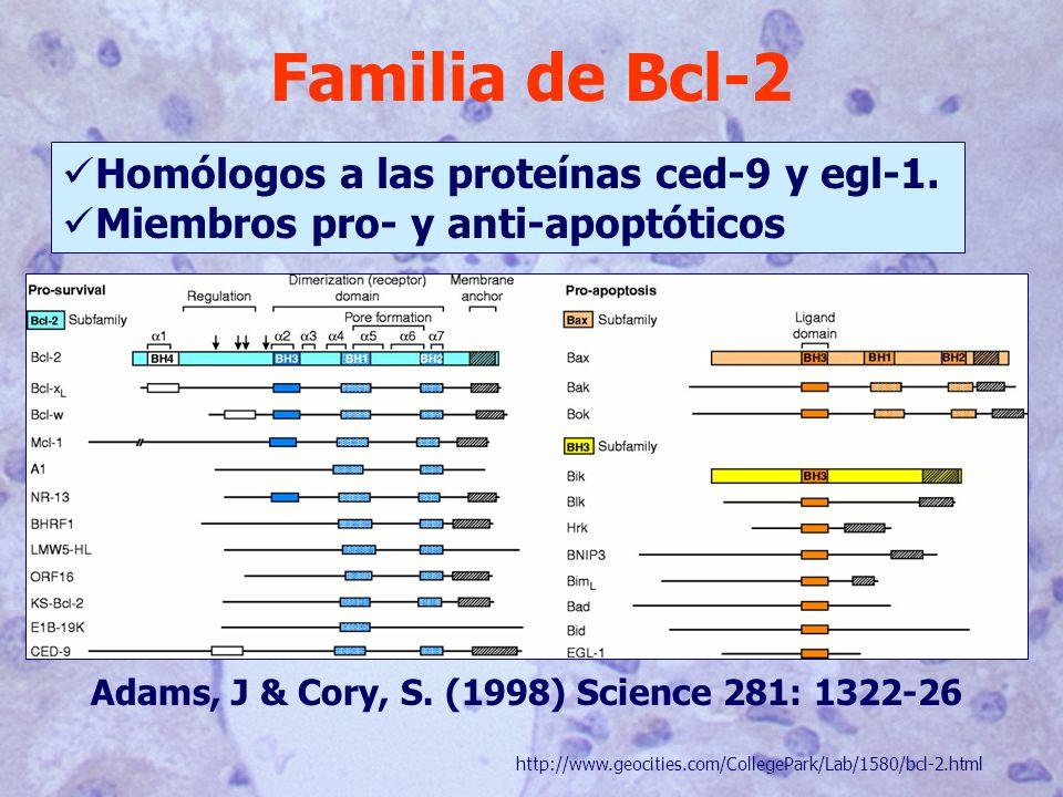 Familia de Bcl-2 Homólogos a las proteínas ced-9 y egl-1. Miembros pro- y anti-apoptóticos http://www.geocities.com/CollegePark/Lab/1580/bcl-2.html Ad