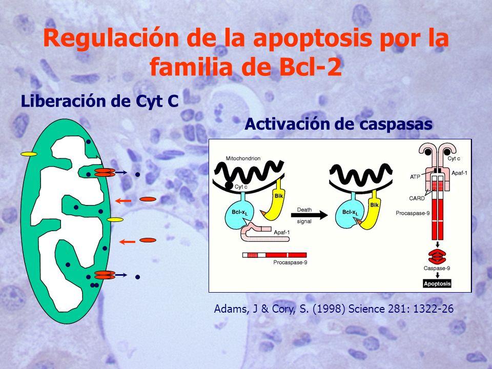 Regulación de la apoptosis por la familia de Bcl-2 Liberación de Cyt C Adams, J & Cory, S. (1998) Science 281: 1322-26 Activación de caspasas