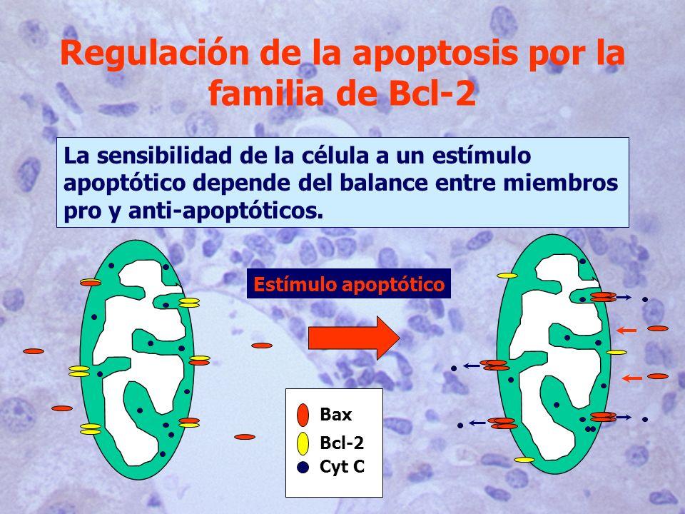 Regulación de la apoptosis por la familia de Bcl-2 La sensibilidad de la célula a un estímulo apoptótico depende del balance entre miembros pro y anti-apoptóticos.