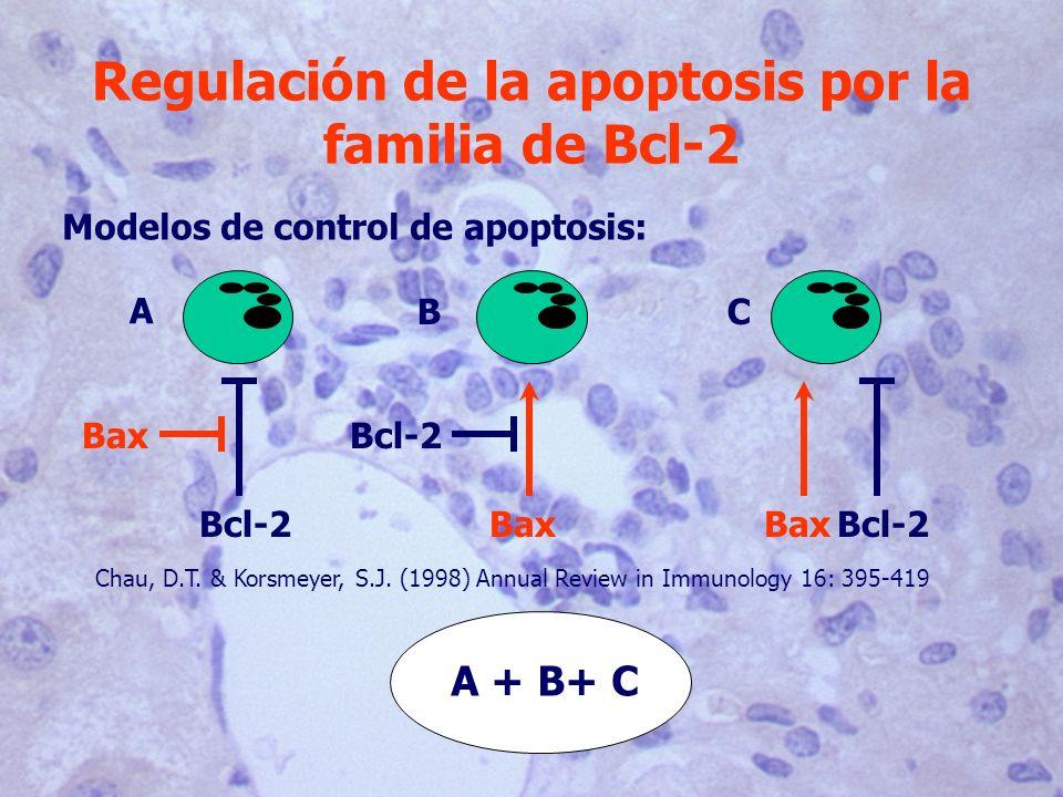 Regulación de la apoptosis por la familia de Bcl-2 Modelos de control de apoptosis: A Bcl-2 Bax B Bcl-2 C BaxBcl-2 Chau, D.T. & Korsmeyer, S.J. (1998)