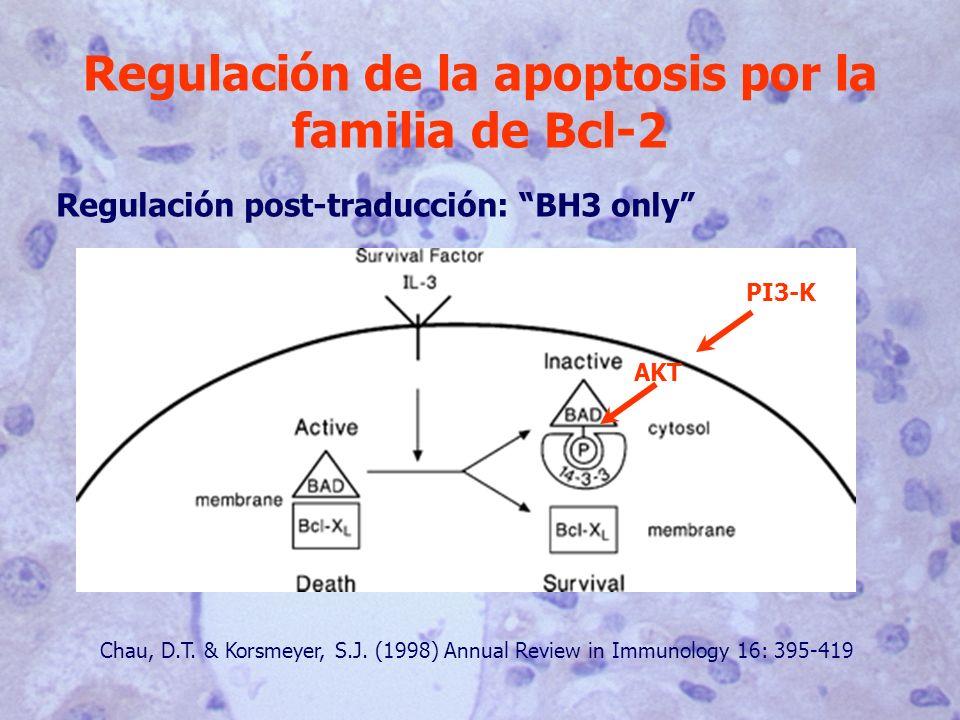 Regulación de la apoptosis por la familia de Bcl-2 Regulación post-traducción: BH3 only Chau, D.T. & Korsmeyer, S.J. (1998) Annual Review in Immunolog
