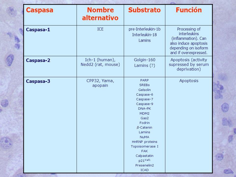 CaspasaNombre alternativo SubstratoFunción Caspasa-1 ICEpre-Interleukin-1b Interleukin-18 Lamins Processing of interleukins (inflammation).
