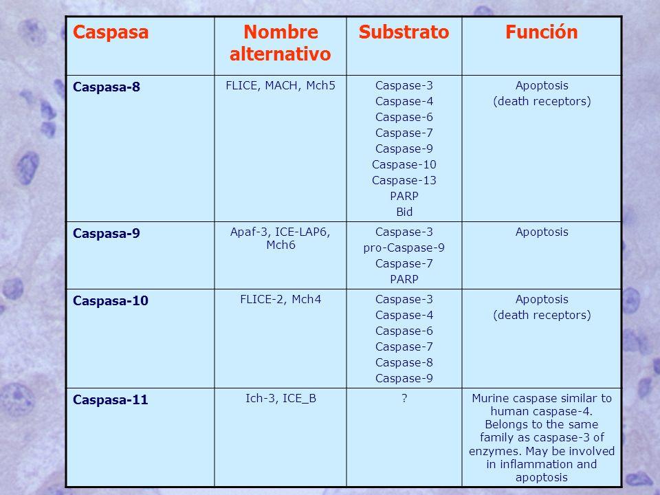 CaspasaNombre alternativo SubstratoFunción Caspasa-8 FLICE, MACH, Mch5Caspase-3 Caspase-4 Caspase-6 Caspase-7 Caspase-9 Caspase-10 Caspase-13 PARP Bid Apoptosis (death receptors) Caspasa-9 Apaf-3, ICE-LAP6, Mch6 Caspase-3 pro-Caspase-9 Caspase-7 PARP Apoptosis Caspasa-10 FLICE-2, Mch4Caspase-3 Caspase-4 Caspase-6 Caspase-7 Caspase-8 Caspase-9 Apoptosis (death receptors) Caspasa-11 Ich-3, ICE_B?Murine caspase similar to human caspase-4.