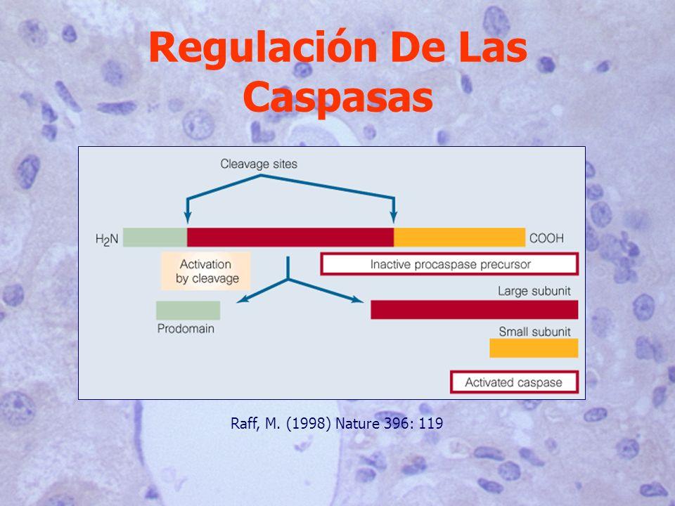 Regulación De Las Caspasas Raff, M. (1998) Nature 396: 119