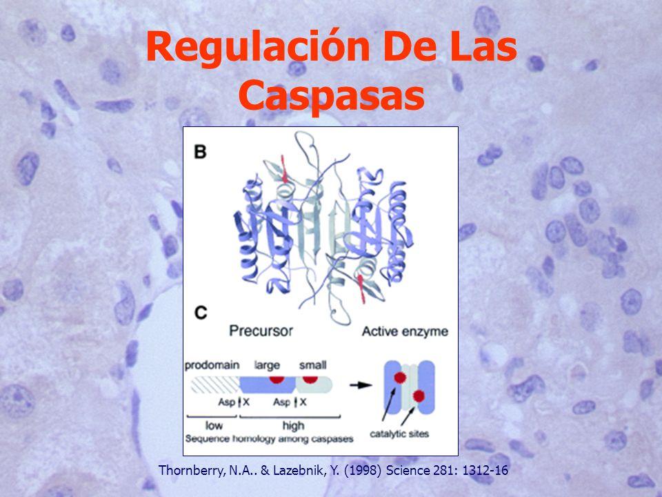 Regulación De Las Caspasas Thornberry, N.A.. & Lazebnik, Y. (1998) Science 281: 1312-16