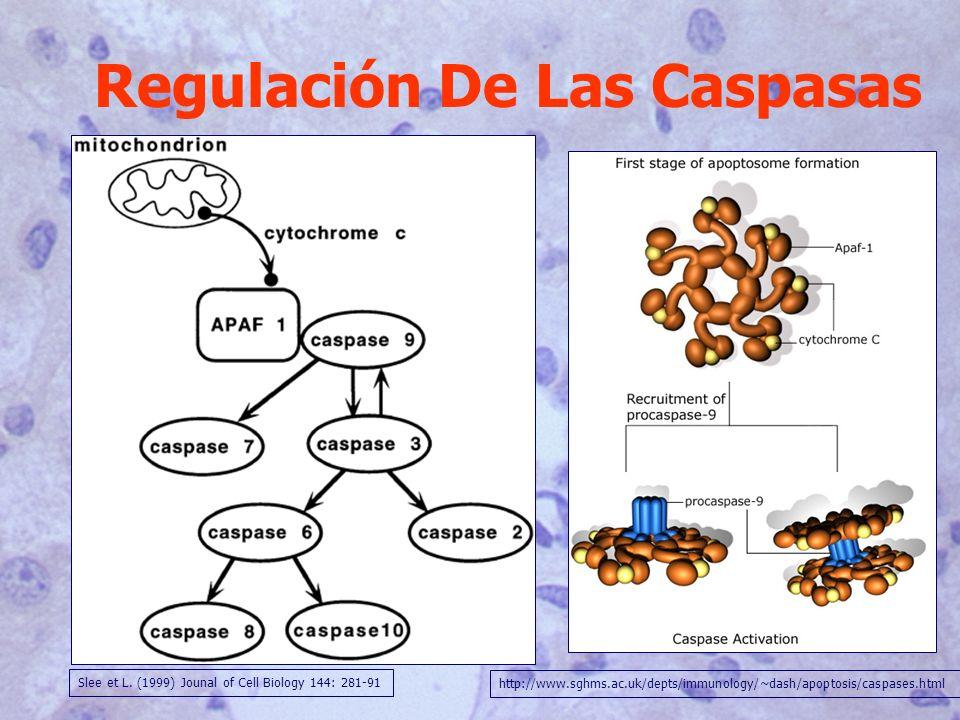 Regulación De Las Caspasas Slee et L. (1999) Jounal of Cell Biology 144: 281-91 http://www.sghms.ac.uk/depts/immunology/~dash/apoptosis/caspases.html