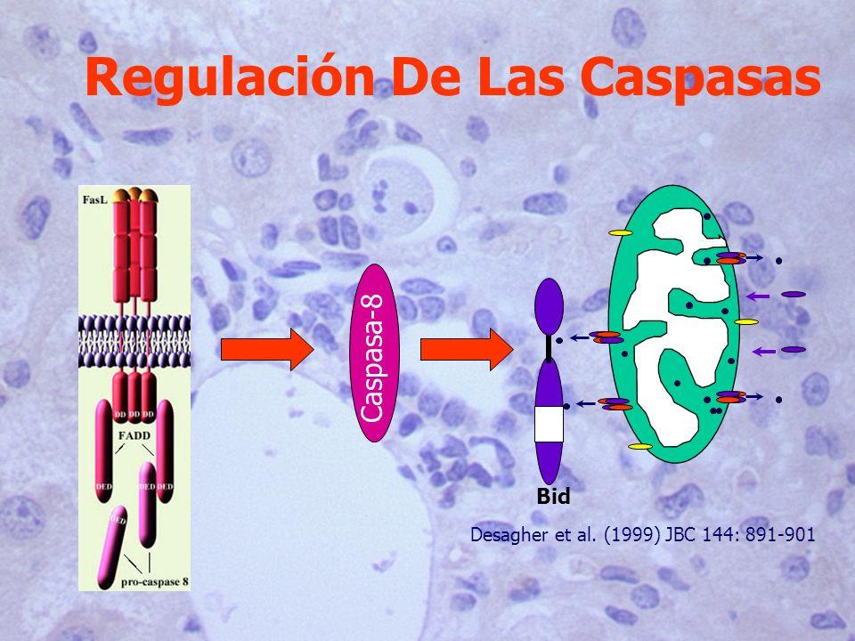 Caspasa-8 Bid Desagher et al. (1999) JBC 144: 891-901 Regulación De Las Caspasas