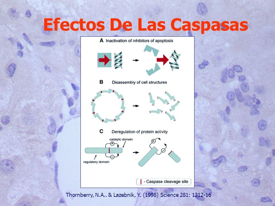 Efectos De Las Caspasas Thornberry, N.A.. & Lazebnik, Y. (1998) Science 281: 1312-16