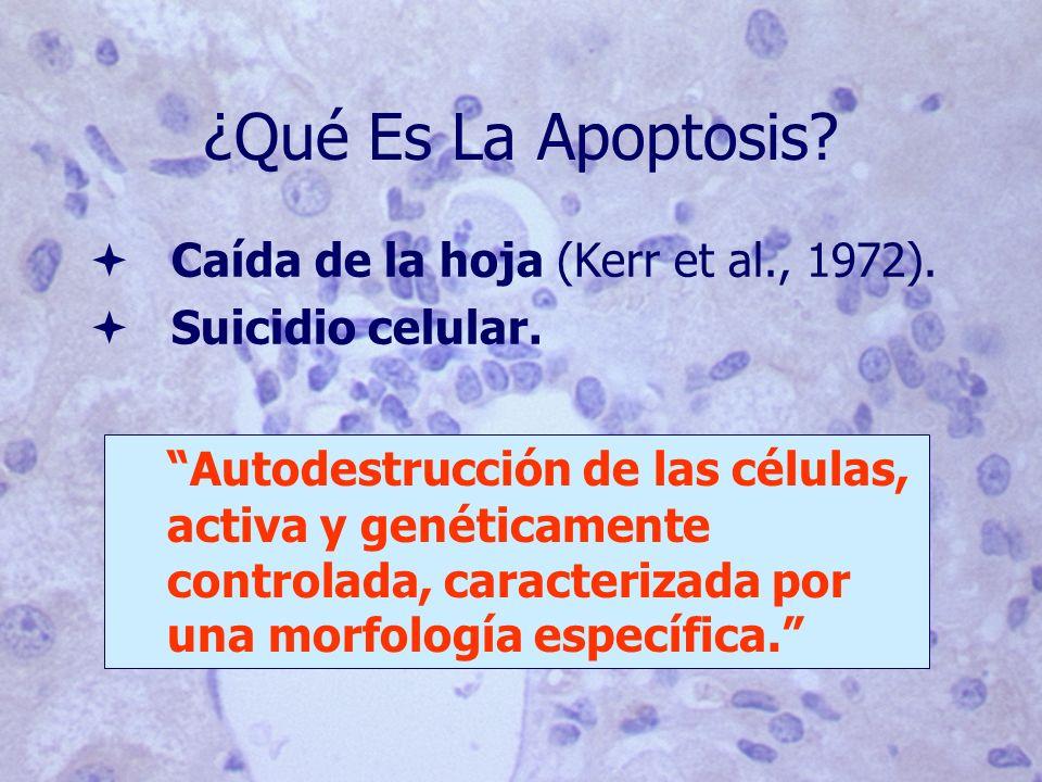 ¿Qué Es La Apoptosis? ª Caída de la hoja (Kerr et al., 1972). ª Suicidio celular. Autodestrucción de las células, activa y genéticamente controlada, c