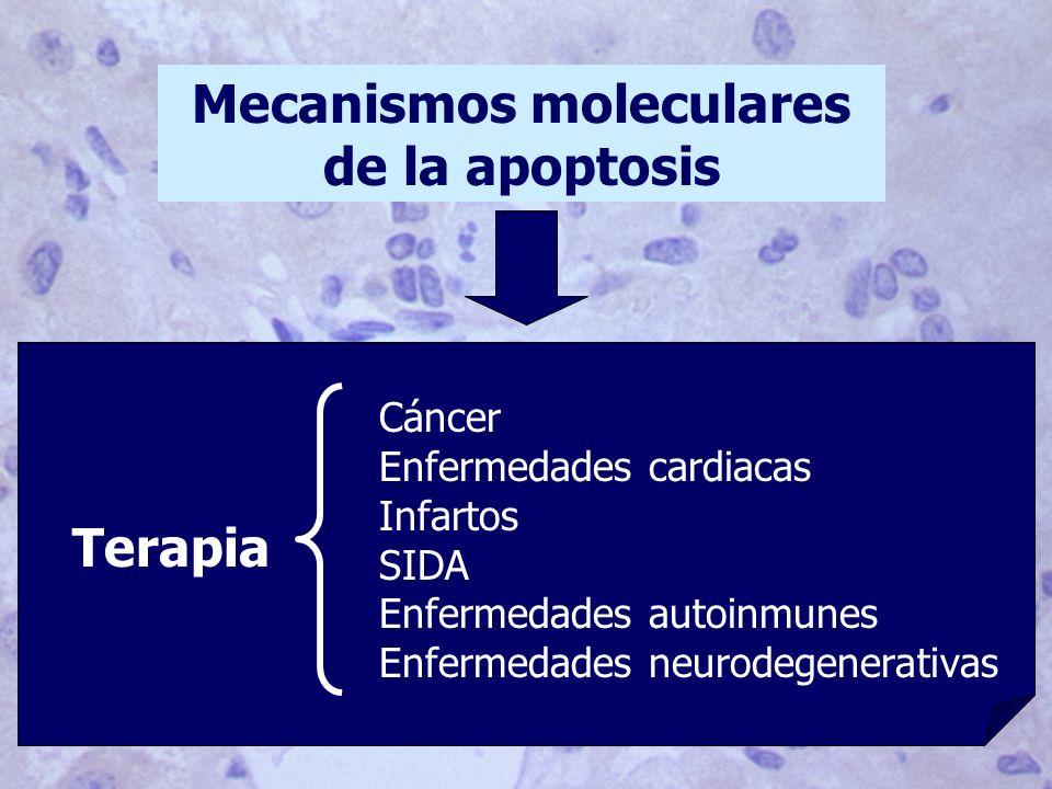 Mecanismos moleculares de la apoptosis Terapia Cáncer Enfermedades cardiacas Infartos SIDA Enfermedades autoinmunes Enfermedades neurodegenerativas