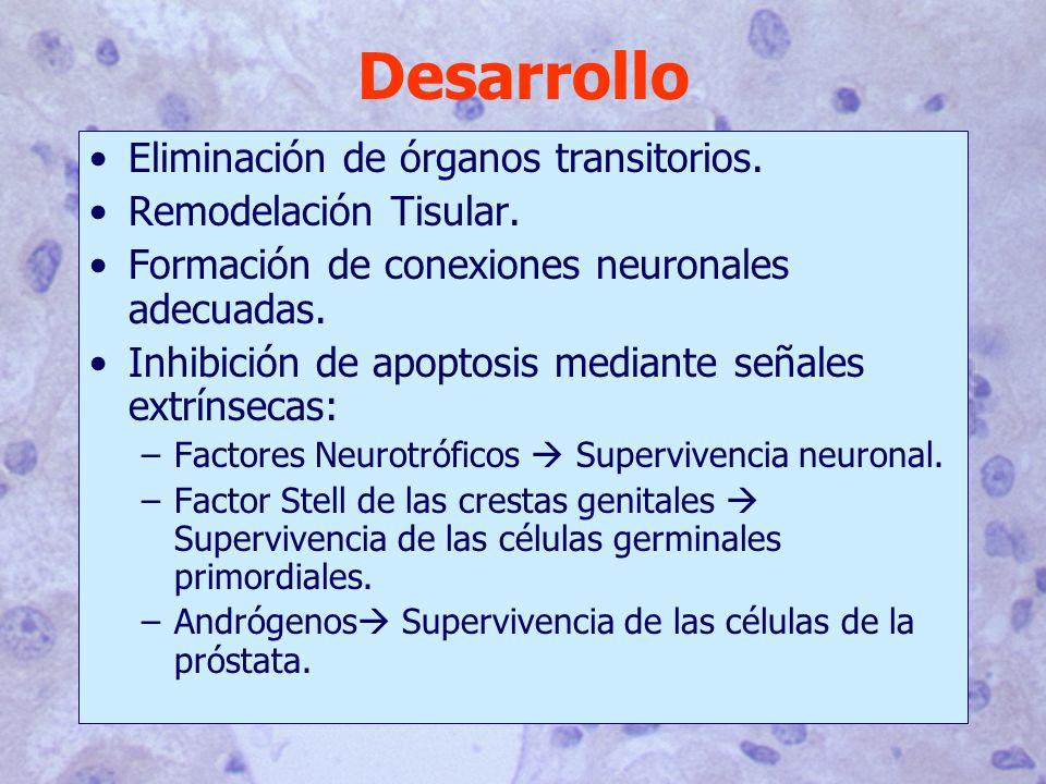 Desarrollo Eliminación de órganos transitorios. Remodelación Tisular. Formación de conexiones neuronales adecuadas. Inhibición de apoptosis mediante s