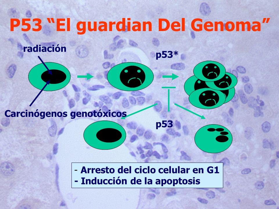 P53 El guardian Del Genoma p53 p53* Carcinógenos genotóxicos radiación - Arresto del ciclo celular en G1 - Inducción de la apoptosis