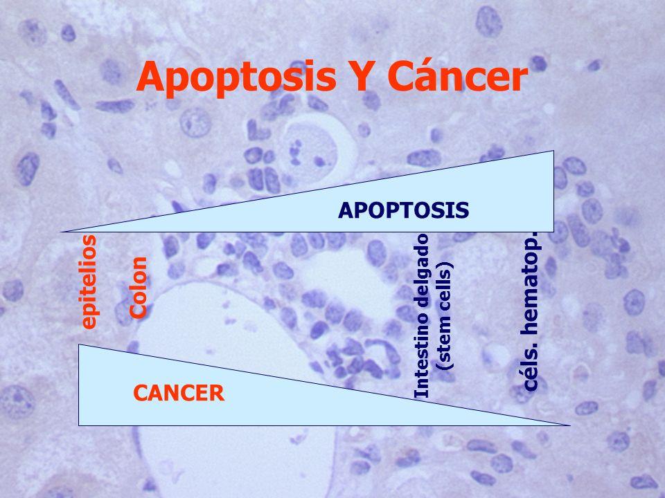 Apoptosis Y Cáncer céls. hematop. epitelios APOPTOSIS CANCER Intestino delgado (stem cells) Colon