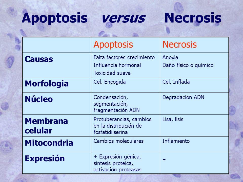 Apoptosis versus Necrosis ApoptosisNecrosis Causas Falta factores crecimiento Influencia hormonal Toxicidad suave Anoxia Daño físico o químico Morfología Cel.