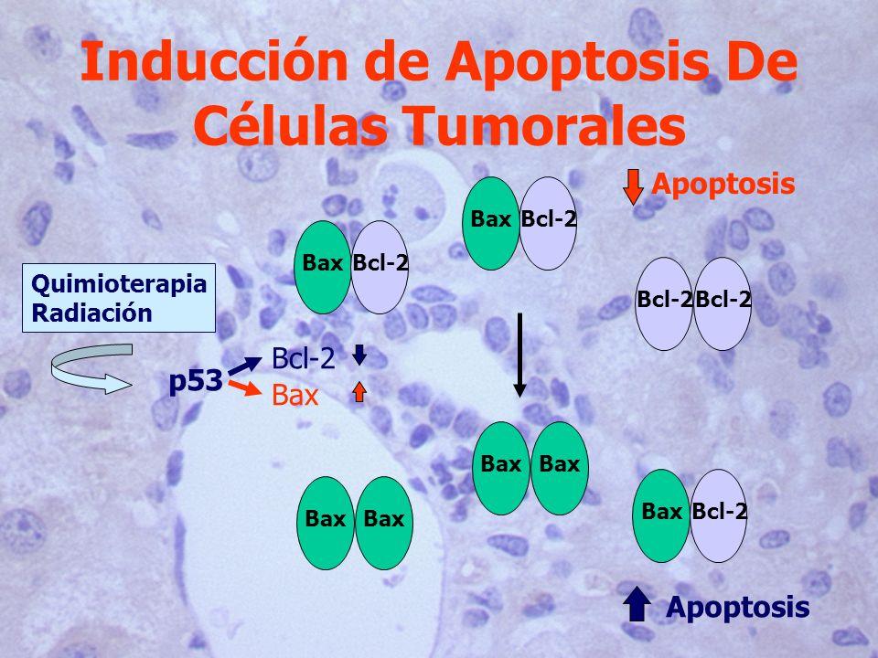 BaxBcl-2 Bax Bcl-2Bax Bcl-2Bax Quimioterapia Radiación p53 Bcl-2 Bax Apoptosis Inducción de Apoptosis De Células Tumorales