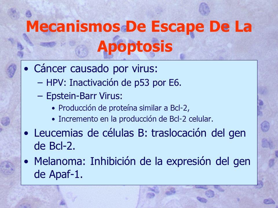 Cáncer causado por virus: –HPV: Inactivación de p53 por E6. –Epstein-Barr Virus: Producción de proteína similar a Bcl-2, Incremento en la producción d
