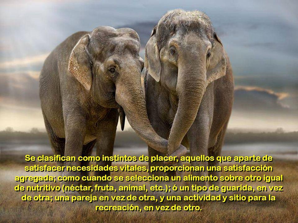 En los animales frecuentemente se ejerce la ley del más fuerte como mecanismo instintivo para preservar lo mejor de la especie; pero jamás este mecani