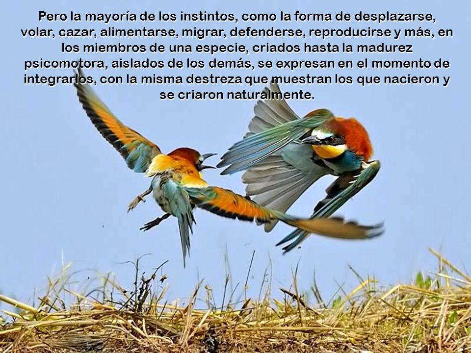 Algunas conductas instintivas, como el canto de los pájaros, la procuración de alimento, y la conducta ante los humanos y otros animales, se logra mod