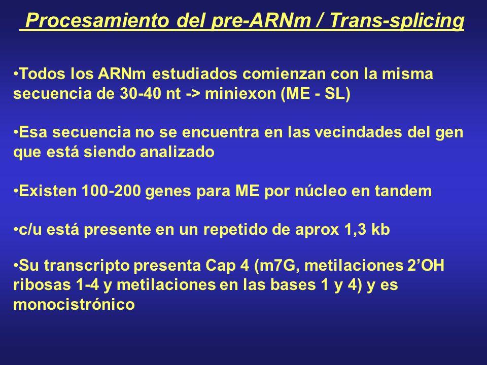 Todos los ARNm estudiados comienzan con la misma secuencia de 30-40 nt -> miniexon (ME - SL) Esa secuencia no se encuentra en las vecindades del gen que está siendo analizado Existen 100-200 genes para ME por núcleo en tandem c/u está presente en un repetido de aprox 1,3 kb Su transcripto presenta Cap 4 (m7G, metilaciones 2OH ribosas 1-4 y metilaciones en las bases 1 y 4) y es monocistrónico Procesamiento del pre-ARNm / Trans-splicing