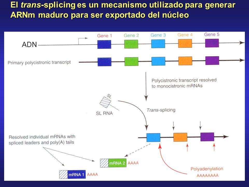 ADN El trans-splicing es un mecanismo utilizado para generar ARNm maduro para ser exportado del núcleo