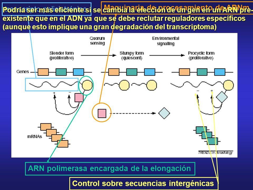 transcripto policistrónicoMaquinaria de procesamiento de ARNm ARN polimerasa encargada de la elongación Control sobre secuencias intergénicas Podría ser más eficiente si se cambia la elección de un gen en un ARN pre- existente que en el ADN ya que se debe reclutar reguladores específicos (aunque esto implique una gran degradación del transcriptoma)