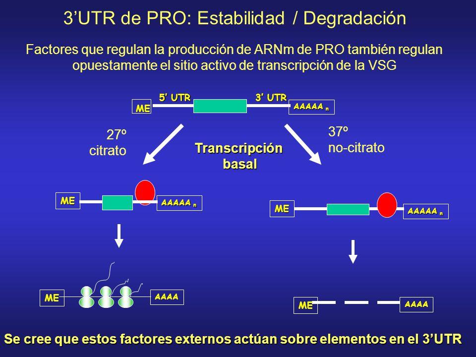 3UTR de PRO: Estabilidad / Degradación ME AAAAA n 5 UTR 3 UTR ME AAAAA n AAAA ME ME AAAAA n AAAA ME Se cree que estos factores externos actúan sobre elementos en el 3UTR Factores que regulan la producción de ARNm de PRO también regulan opuestamente el sitio activo de transcripción de la VSG 27º citrato 37º no-citrato Transcripciónbasal