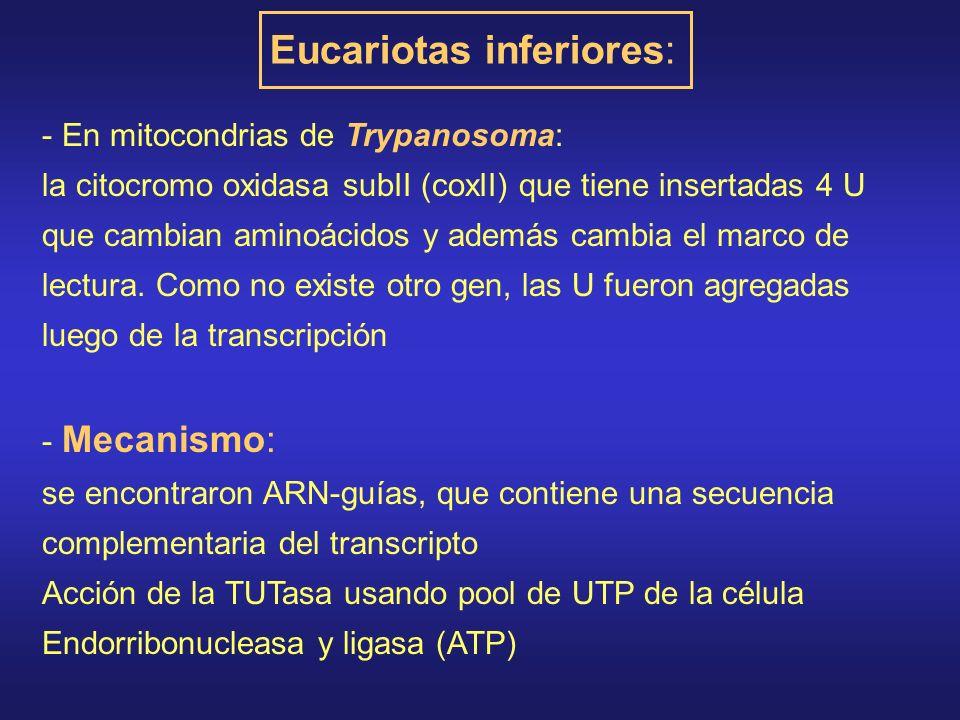 - En mitocondrias de Trypanosoma: la citocromo oxidasa subII (coxII) que tiene insertadas 4 U que cambian aminoácidos y además cambia el marco de lectura.
