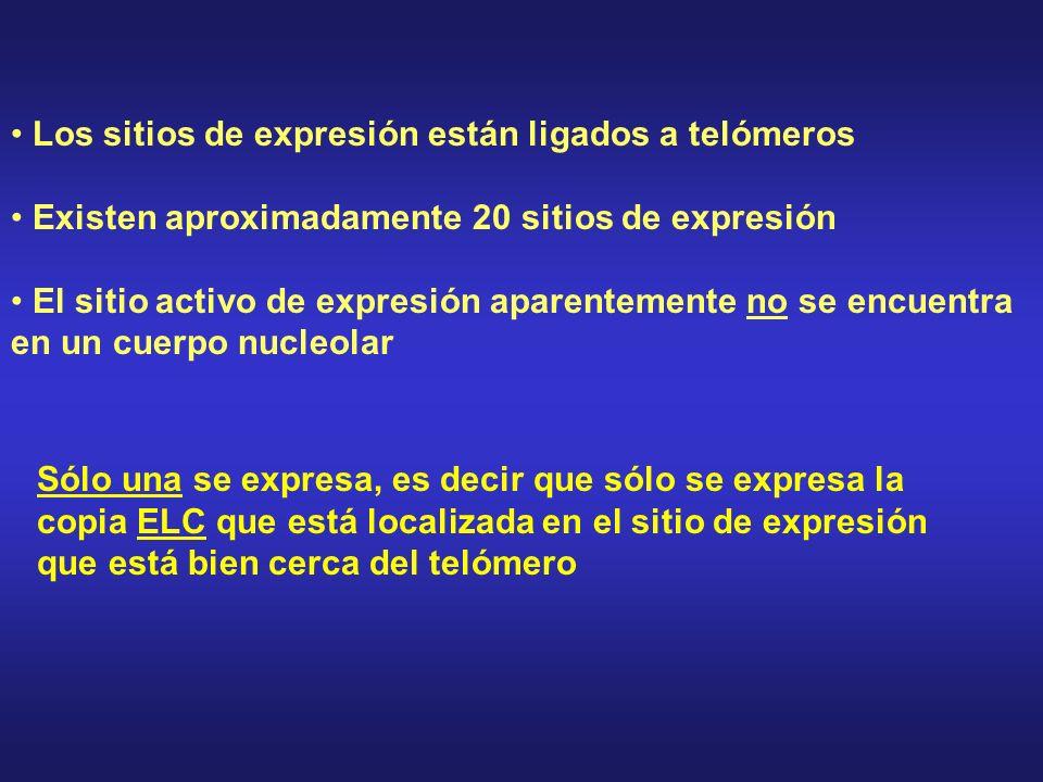 Los sitios de expresión están ligados a telómeros Existen aproximadamente 20 sitios de expresión El sitio activo de expresión aparentemente no se encuentra en un cuerpo nucleolar Sólo una se expresa, es decir que sólo se expresa la copia ELC que está localizada en el sitio de expresión que está bien cerca del telómero