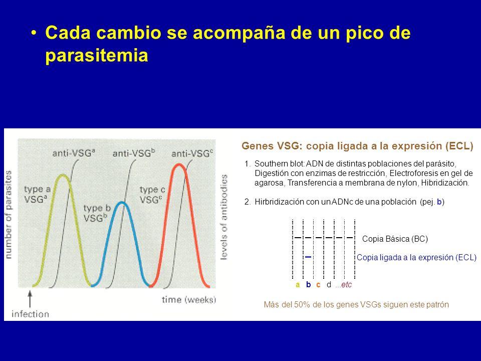 Cada cambio se acompaña de un pico de parasitemia 1.Southern blot: ADN de distintas poblaciones del parásito, Digestión con enzimas de restricción, Electroforesis en gel de agarosa, Transferencia a membrana de nylon, Hibridización.