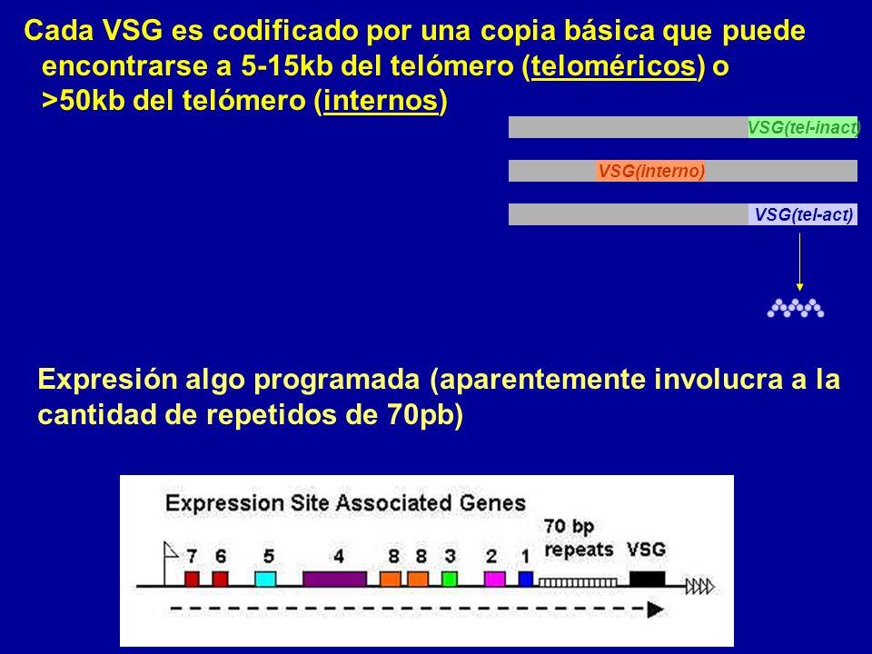 Cada VSG es codificado por una copia básica que puede encontrarse a 5-15kb del telómero (teloméricos) o >50kb del telómero (internos) VSG(tel-inact) VSG(interno) VSG(tel-act) Expresión algo programada (aparentemente involucra a la cantidad de repetidos de 70pb)