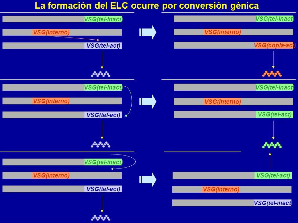 VSG(tel-inact) VSG(interno) VSG(tel-act) VSG(tel-inact) VSG(interno) VSG(tel-act) VSG(tel-inact) VSG(interno) VSG(tel-act) VSG(tel-inact) VSG(interno) VSG(copia-act) VSG(tel-act) VSG(tel-inact) VSG(interno) VSG(tel-act) VSG(interno) VSG(tel-inact) La formación del ELC ocurre por conversión génica