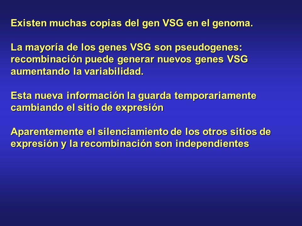 Existen muchas copias del gen VSG en el genoma.