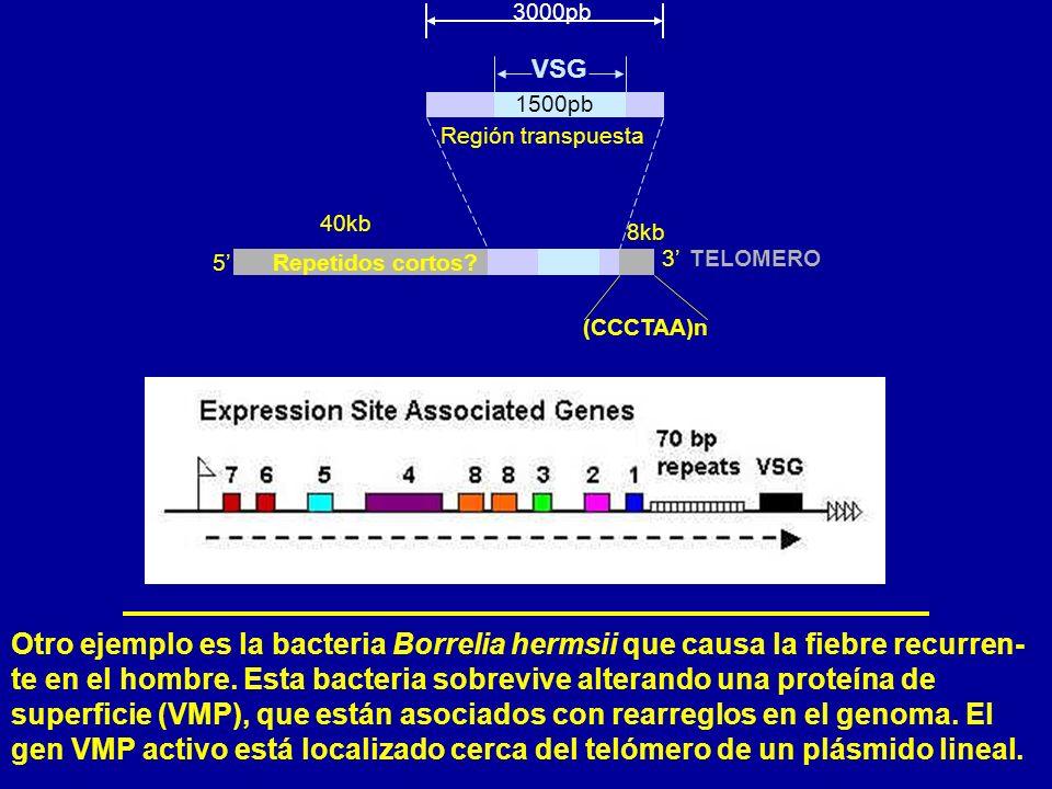 Otro ejemplo es la bacteria Borrelia hermsii que causa la fiebre recurren- te en el hombre.