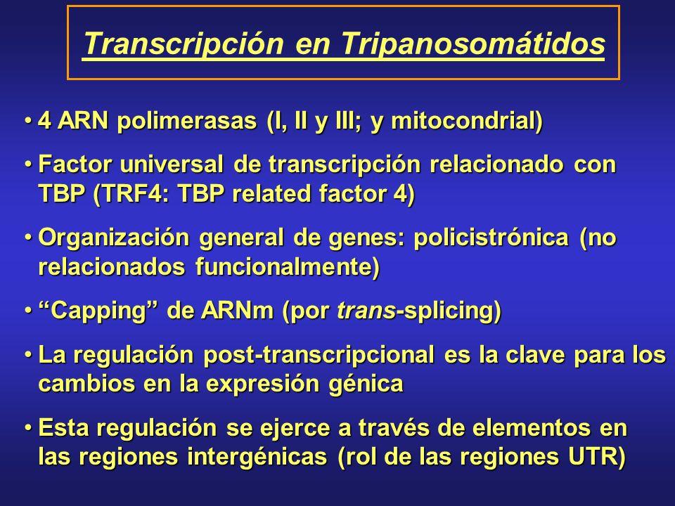 4 ARN polimerasas (I, II y III; y mitocondrial)4 ARN polimerasas (I, II y III; y mitocondrial) Factor universal de transcripción relacionado con TBP (TRF4: TBP related factor 4)Factor universal de transcripción relacionado con TBP (TRF4: TBP related factor 4) Organización general de genes: policistrónica (no relacionados funcionalmente)Organización general de genes: policistrónica (no relacionados funcionalmente) Capping de ARNm (por trans-splicing)Capping de ARNm (por trans-splicing) La regulación post-transcripcional es la clave para los cambios en la expresión génicaLa regulación post-transcripcional es la clave para los cambios en la expresión génica Esta regulación se ejerce a través de elementos en las regiones intergénicas (rol de las regiones UTR)Esta regulación se ejerce a través de elementos en las regiones intergénicas (rol de las regiones UTR) Transcripción en Tripanosomátidos