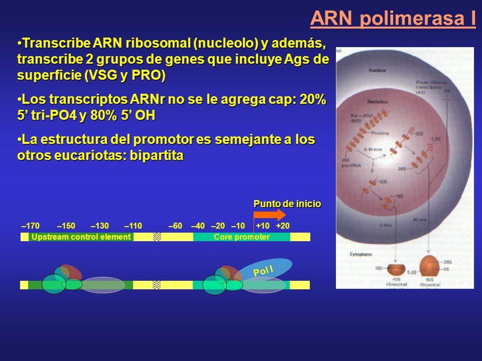 Transcribe ARN ribosomal (nucleolo) y además, transcribe 2 grupos de genes que incluye Ags de superficie (VSG y PRO)Transcribe ARN ribosomal (nucleolo) y además, transcribe 2 grupos de genes que incluye Ags de superficie (VSG y PRO) Los transcriptos ARNr no se le agrega cap: 20% 5 tri-PO4 y 80% 5 OHLos transcriptos ARNr no se le agrega cap: 20% 5 tri-PO4 y 80% 5 OH La estructura del promotor es semejante a los otros eucariotas: bipartitaLa estructura del promotor es semejante a los otros eucariotas: bipartita Core promoter Punto de inicio –170 –150 –130 –110 –60 –40 –20 –10 +10 +20 Upstream control element Pol I ARN polimerasa I