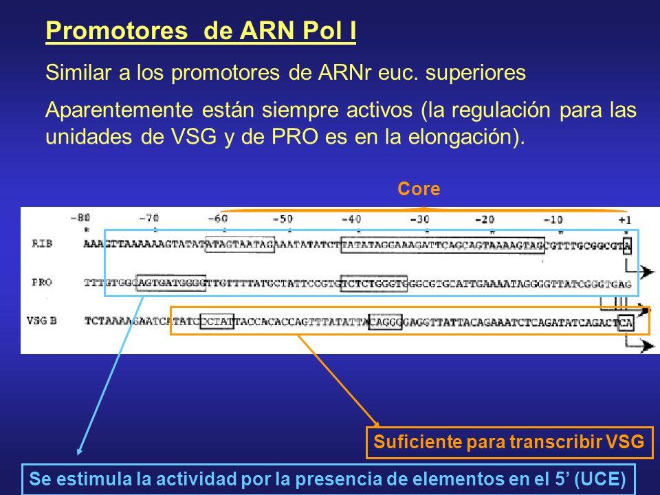 Core Promotores de ARN Pol I Similar a los promotores de ARNr euc. superiores Suficiente para transcribir VSG Se estimula la actividad por la presenci