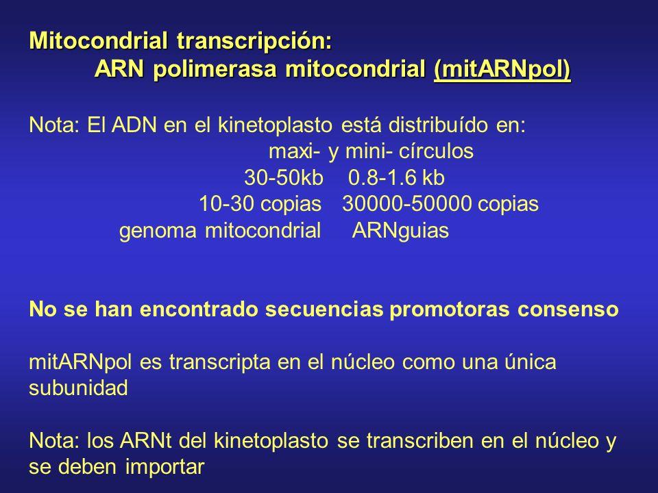 Mitocondrial transcripción: ARN polimerasa mitocondrial (mitARNpol) Nota: El ADN en el kinetoplasto está distribuído en: maxi- y mini- círculos 30-50kb 0.8-1.6 kb 10-30 copias 30000-50000 copias genoma mitocondrial ARNguias No se han encontrado secuencias promotoras consenso mitARNpol es transcripta en el núcleo como una única subunidad Nota: los ARNt del kinetoplasto se transcriben en el núcleo y se deben importar