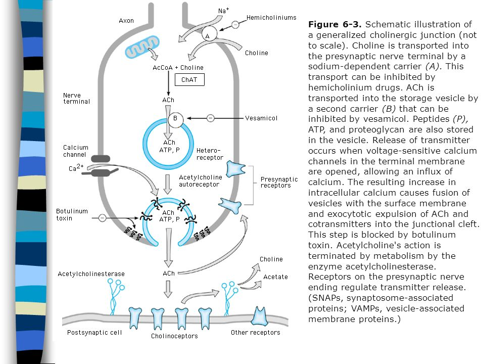 Figure 6-3. Schematic illustration of a generalized cholinergic junction (not to scale). Choline is transported into the presynaptic nerve terminal by