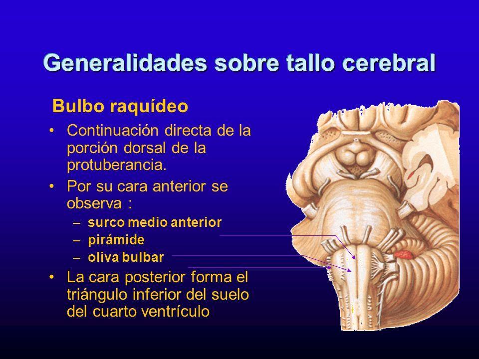 Continuación directa de la porción dorsal de la protuberancia. Por su cara anterior se observa : –surco medio anterior –pirámide –oliva bulbar La cara