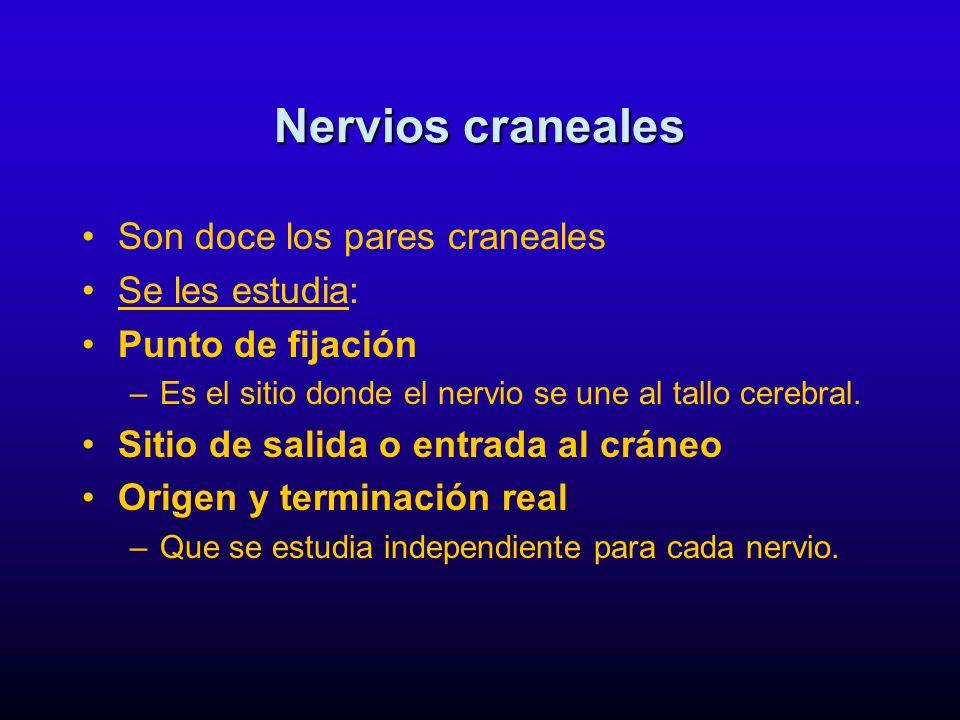 Nervios craneales Son doce los pares craneales Se les estudia: Punto de fijación –Es el sitio donde el nervio se une al tallo cerebral. Sitio de salid