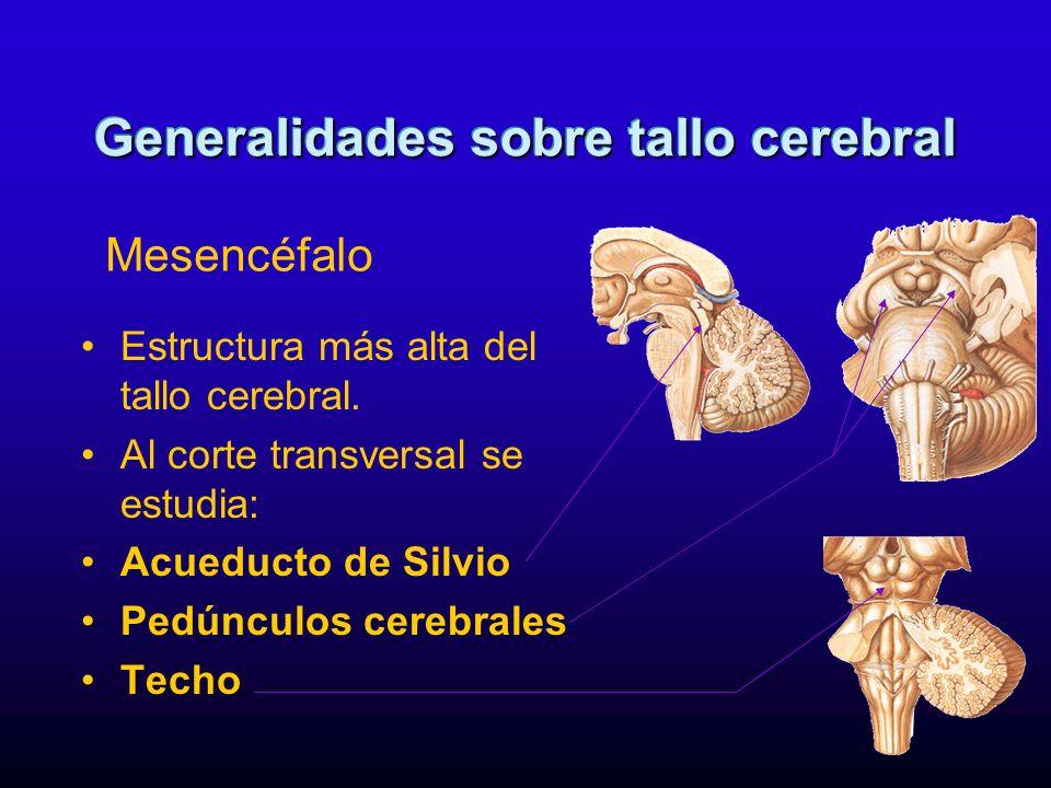 Estructura más alta del tallo cerebral. Al corte transversal se estudia: Acueducto de Silvio Pedúnculos cerebrales Techo Generalidades sobre tallo cer