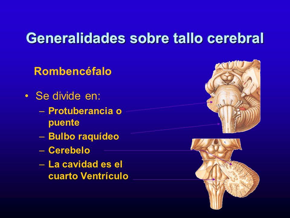 Se divide en: –Protuberancia o puente –Bulbo raquídeo –Cerebelo –La cavidad es el cuarto Ventrículo Generalidades sobre tallo cerebral Rombencéfalo