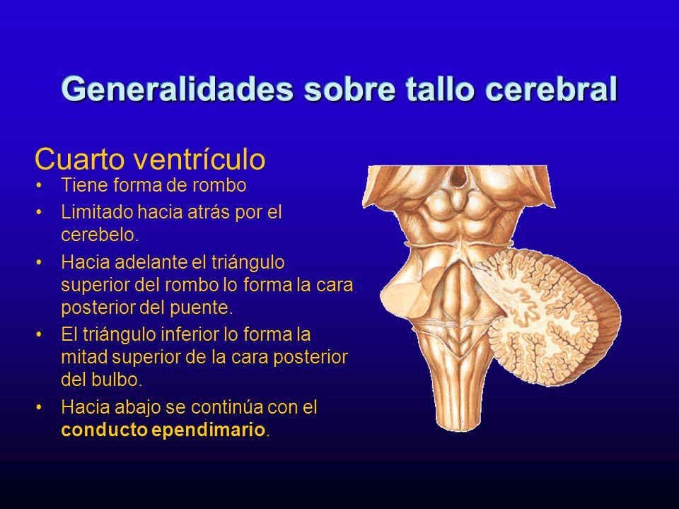 Al corte transversal se estudian dos porciones: –Ventral o basilar formada por un abultamiento de fibras transversales(pontocerebelosa s).