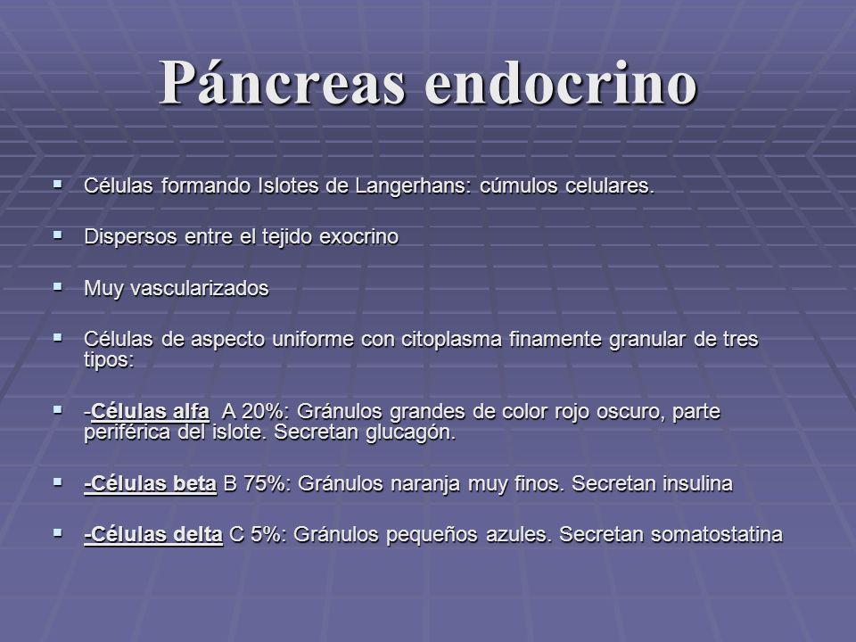 Páncreas endocrino CELULAS BETA: CELULAS BETA: 70% del total celular insular.