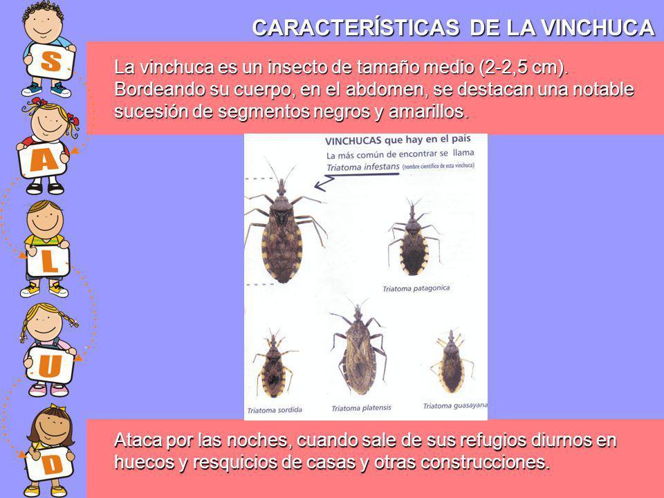 CARACTERÍSTICAS DE LA VINCHUCA La vinchuca es un insecto de tamaño medio (2-2,5 cm). Bordeando su cuerpo, en el abdomen, se destacan una notable suces