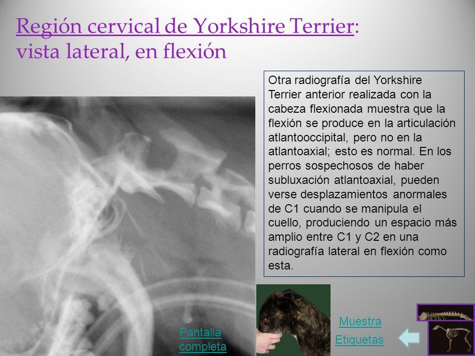 Región cervical de Yorkshire Terrier: vista lateral, en flexión Otra radiografía del Yorkshire Terrier anterior realizada con la cabeza flexionada mue