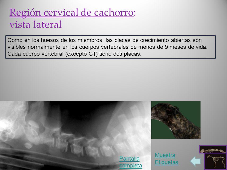 Región cervical de cachorro: vista lateral Como en los huesos de los miembros, las placas de crecimiento abiertas son visibles normalmente en los cuer