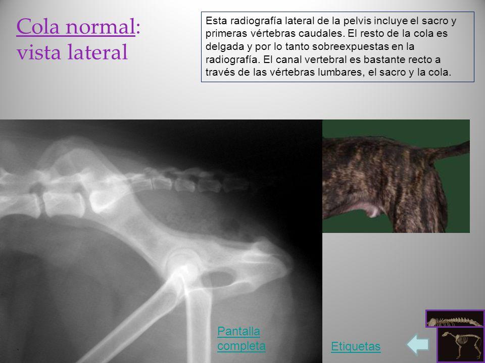 Cola normal: vista lateral Esta radiografía lateral de la pelvis incluye el sacro y primeras vértebras caudales. El resto de la cola es delgada y por